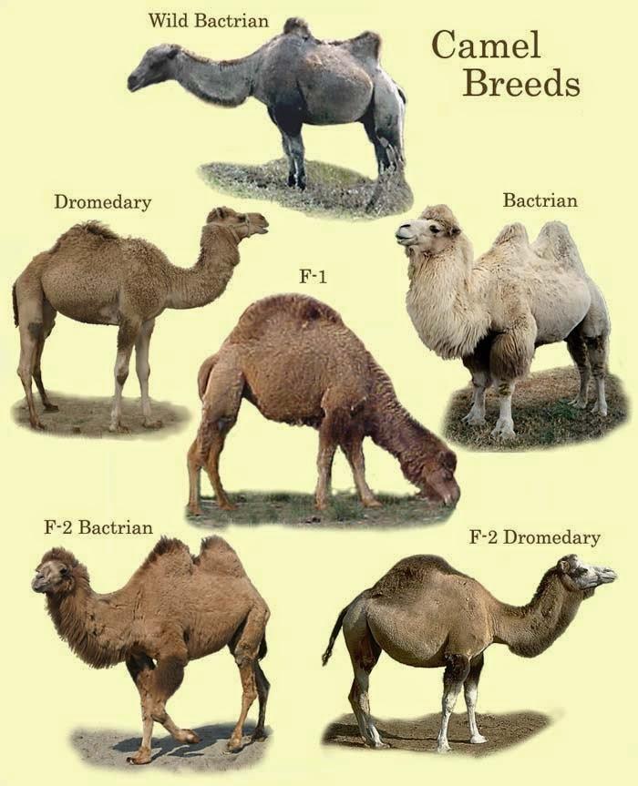 camel breeds of livestock in world