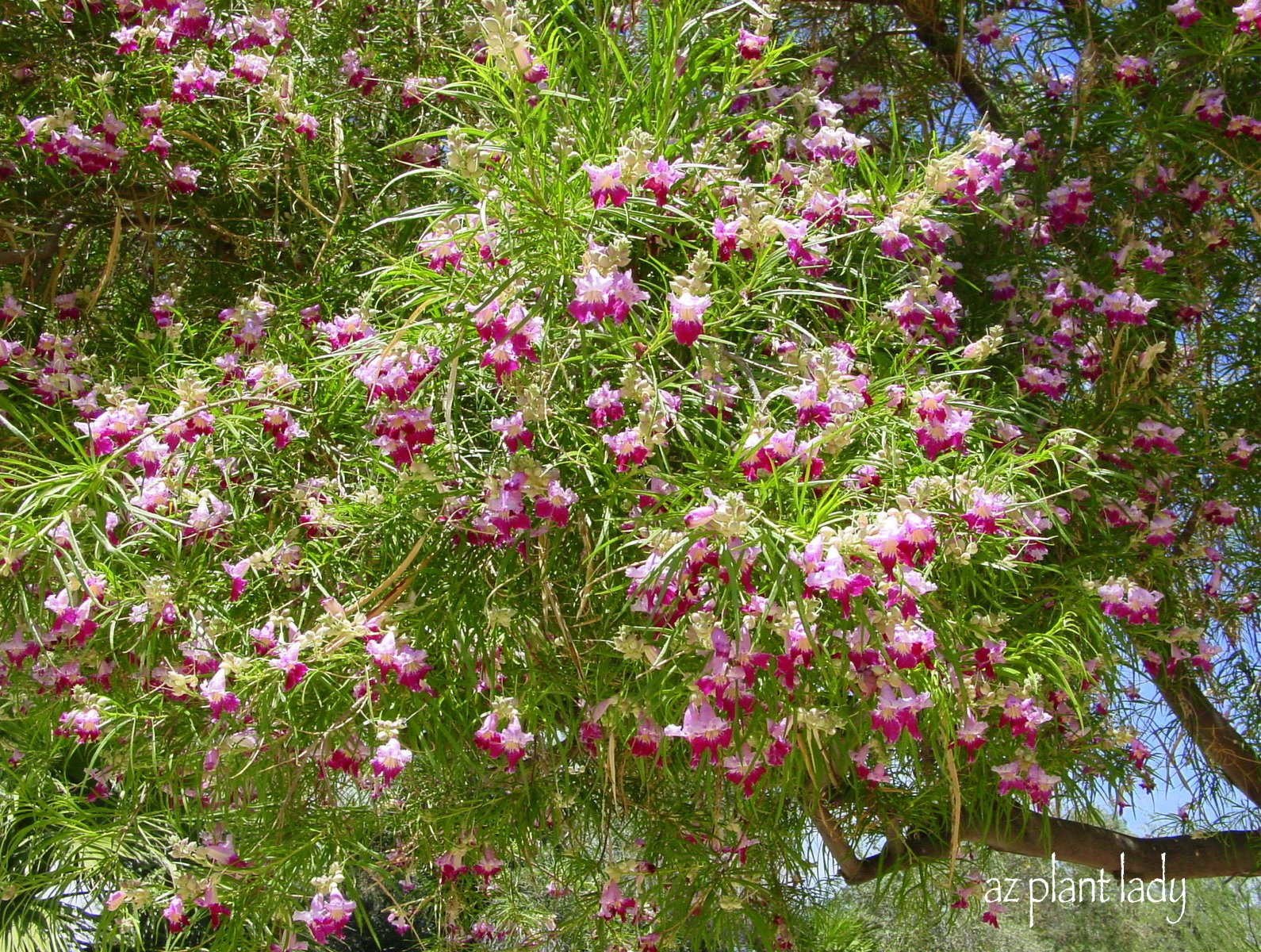 A flowering willowa lesser known tree for the garden a flowering willowa lesser known tree for the garden ramblings from a desert garden mightylinksfo