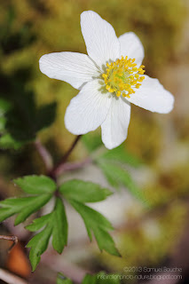 Photo macro d'une anemone des bois