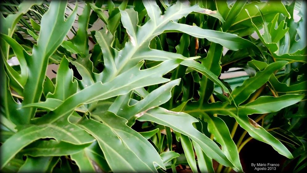Meu cantinho verde filodendro banana de imb for Planta filodendro