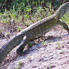 Cat-Eating Monitor Lizards Are Breeding In Florida