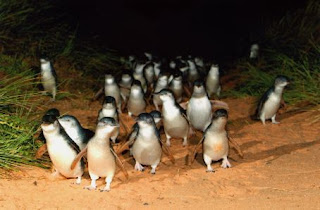 Little penguins come waddling in at Penguin Island, Melbourne