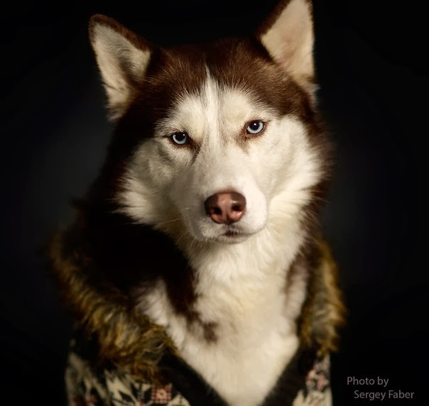 Health Problems in Siberian Huskies