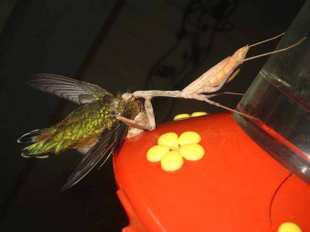 gian mantis eats bird