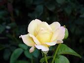 Желтая роза-чайно-гибридная
