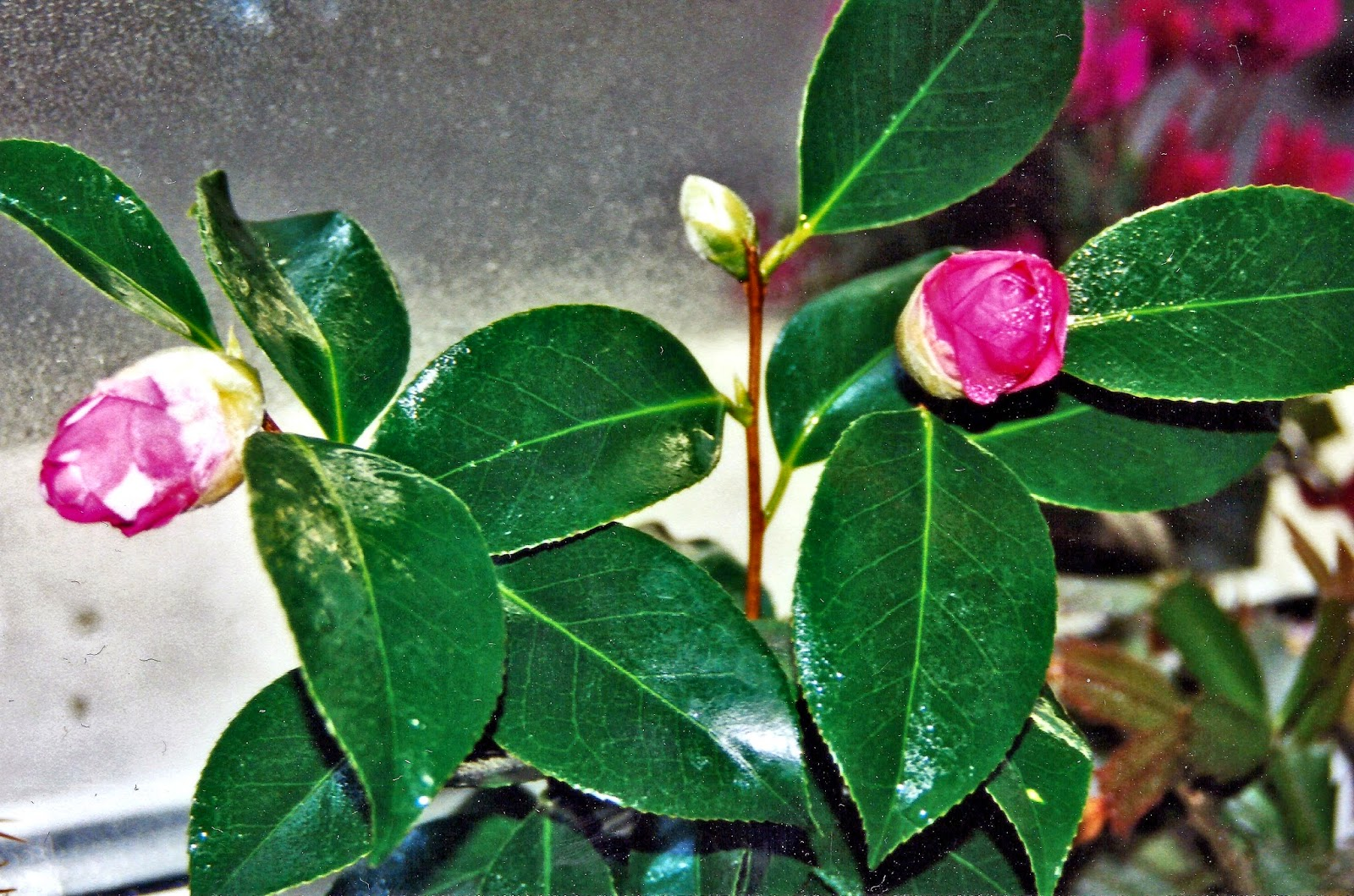 gartenkalender kamelie camellia. Black Bedroom Furniture Sets. Home Design Ideas