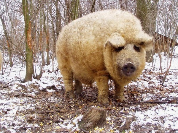 Mangalitsa In A Forest