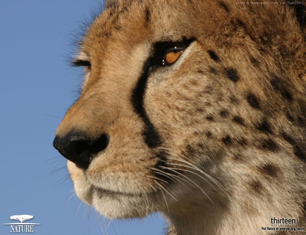 Affectionate Cheetahs HD Wallpapers 3 Ewallpapers Hub