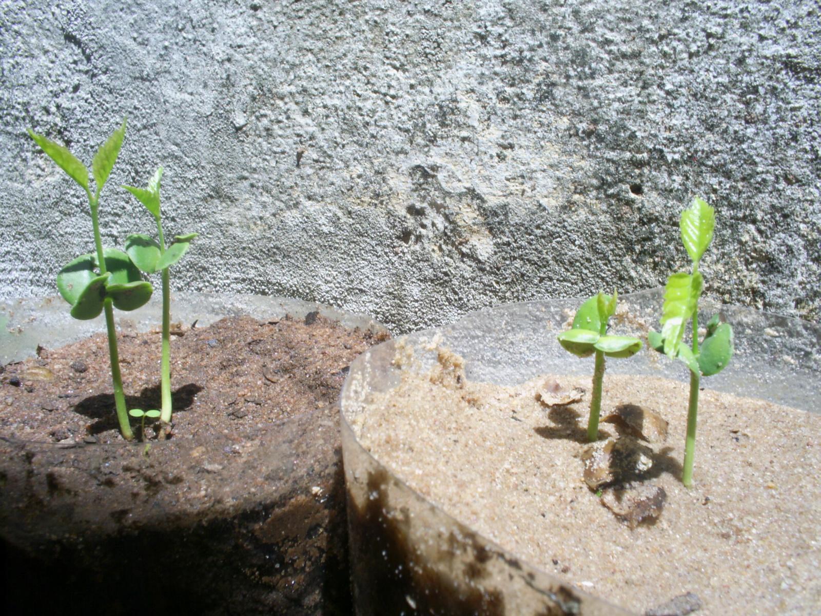Como Plantar Sementes de Ipês Rosa,Roxo,Amarelo,Etc. 8