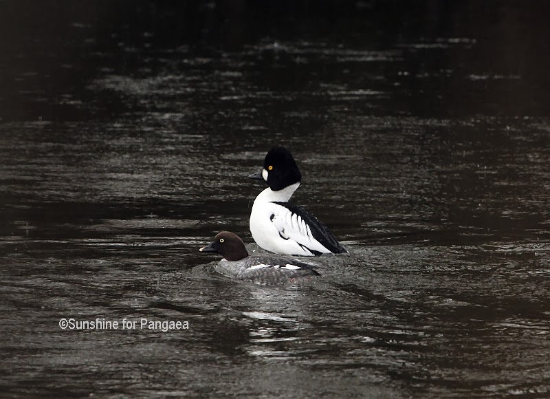 Common Goldeneye on the Ammersee