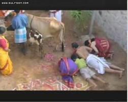 هنود يعبدون البقر..الله يهديهم!