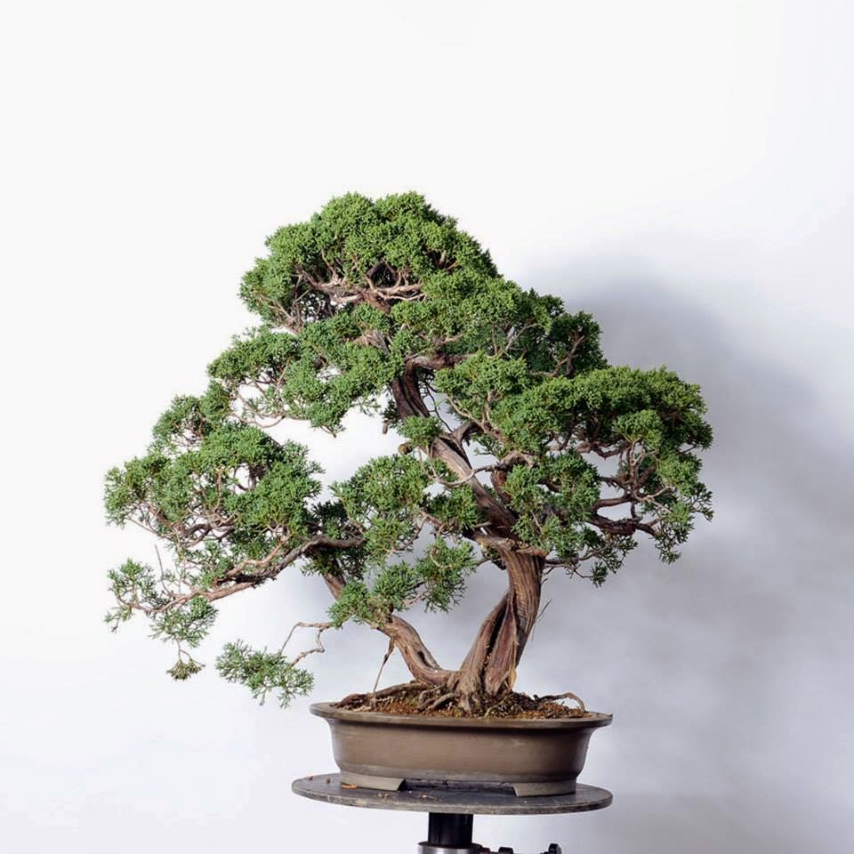 Bonsai Blog Of Sndor Papp