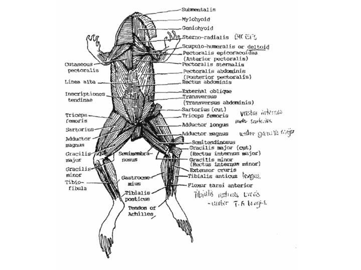 Frog Muscular Diagram - Electrical Work Wiring Diagram •