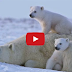 Cutest Polar Bear Family You Will Ever See