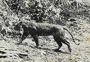Javanese tigers