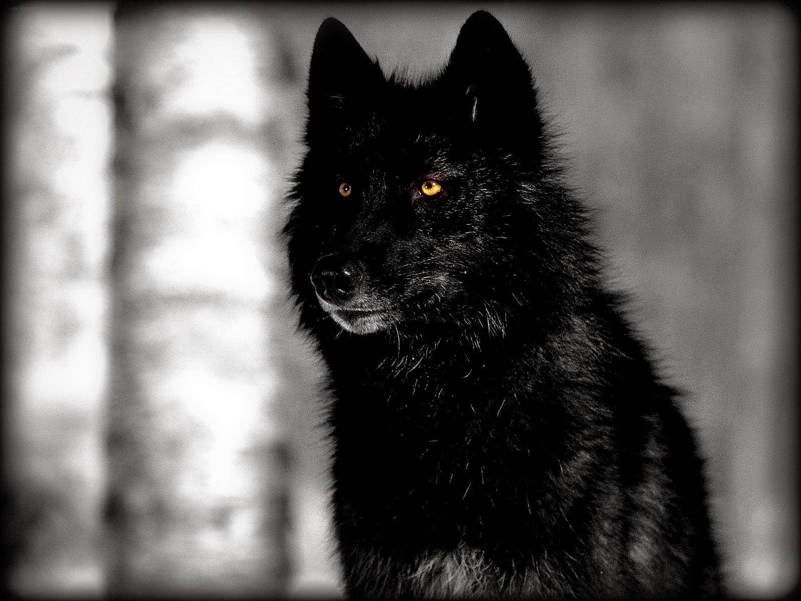 White Wolf : Stunning Photographs Showcase The Beauty Of