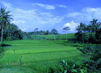 Rice paddies in Java