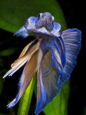 Betta spelendens Blue Crowtail the world's largest
