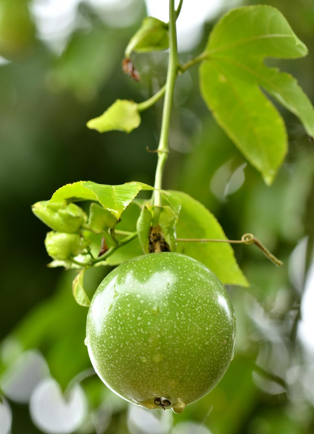 Useful information benefits of passion fruit for Fruit trees