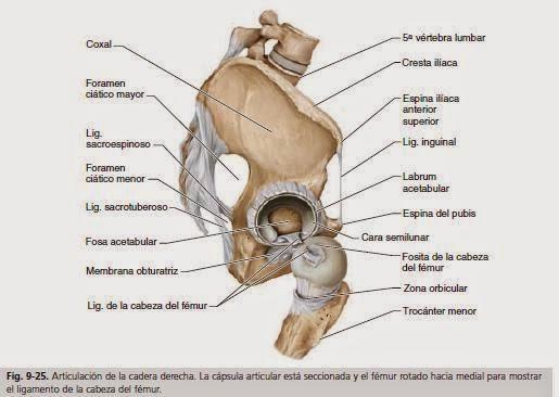 Anatomía para Cosmetología: FORAMEN CIATICO MAYOR Y FORAMEN CIATICO ...
