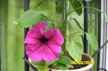 PETUNIA MORADA , mi pequeño jardin 2012