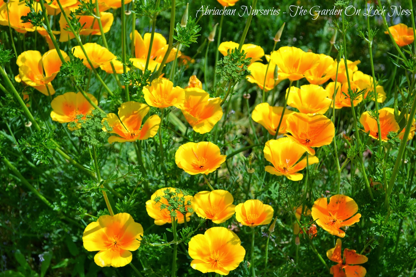 Californian Poppy  Escholtzia californica Abriachan Nurseries