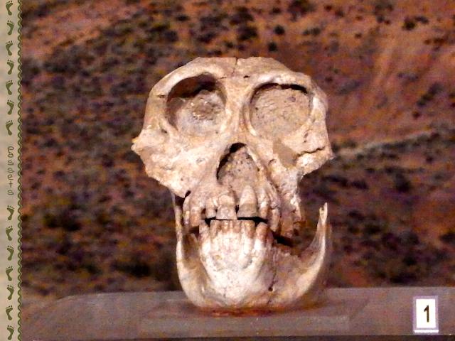 Ankarapithecus