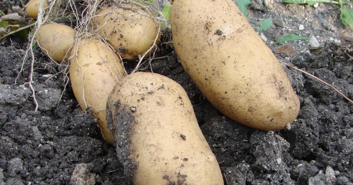 Au jardin d 39 aurore la pomme de terre - Pomme de terre germee comestible ...