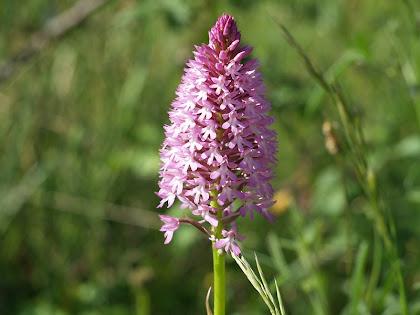 L'orquídia Anacamptis Pyramidalis als camps del Pollancre
