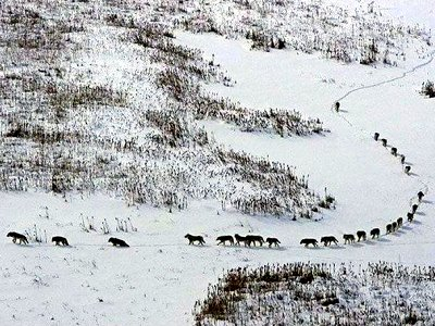 A wolf pack on the move.