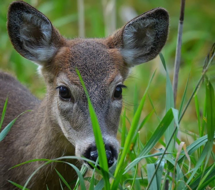 White-tailed Deer (Odocoileus virginianus) - a young male fawn, or button buck