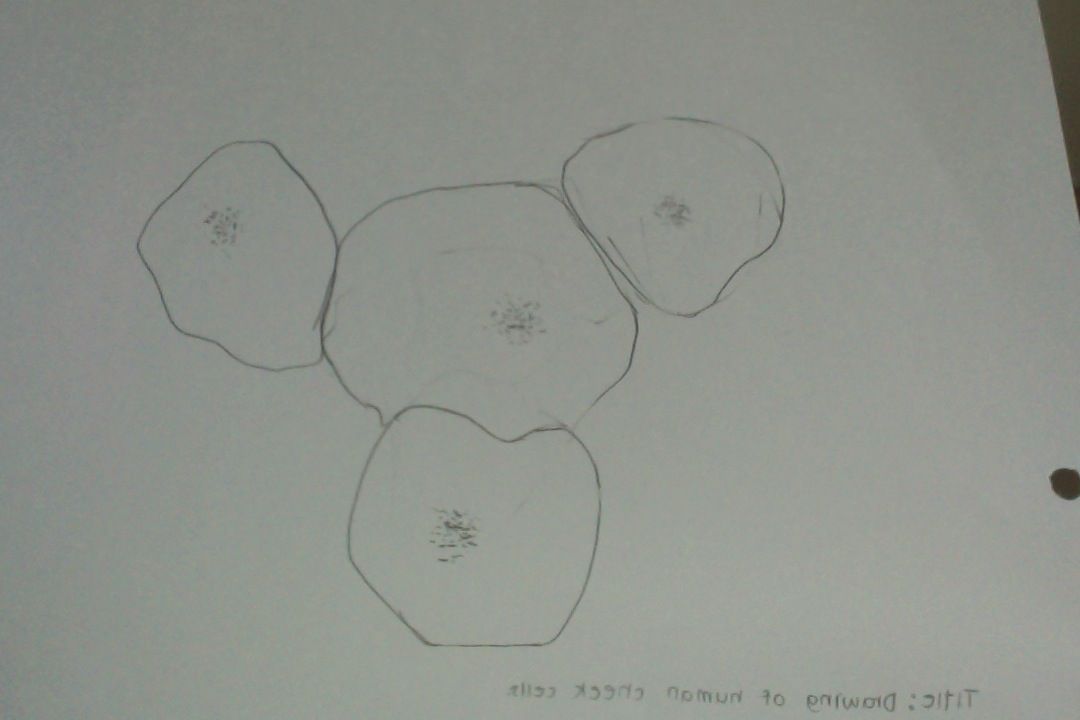 Biology drawing of human cheek cells and plant cells drawing of human cheek cells and plant cells ccuart Images