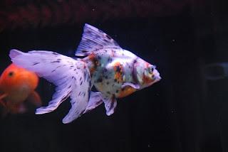 calico-goldfish