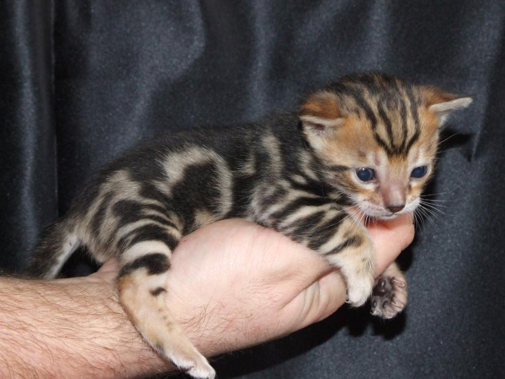 Baby Bengal Kitten for Sale