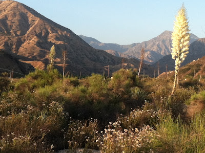 Mojave Valley Yucca in Big Tujunga Wash, (c) Maja Trochimczyk