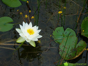 Pływacz zwyczajny – roślina zjadająca komary