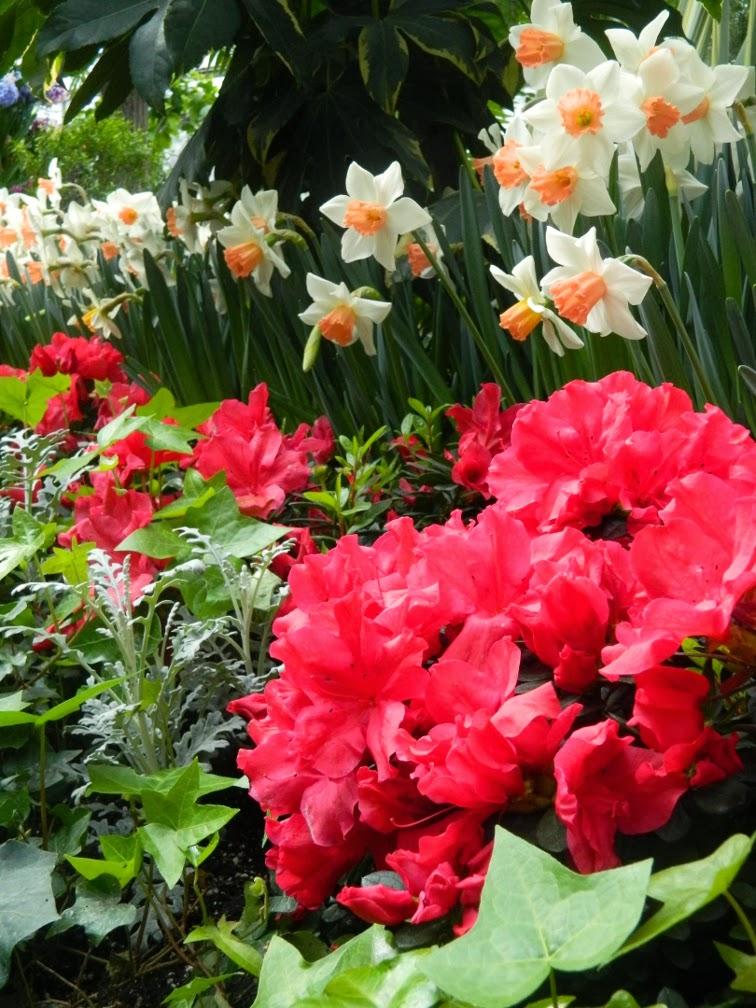 Allan Gardens Conservatory Spring Flower Show 2014 red azalea Pink Charm daffodils
