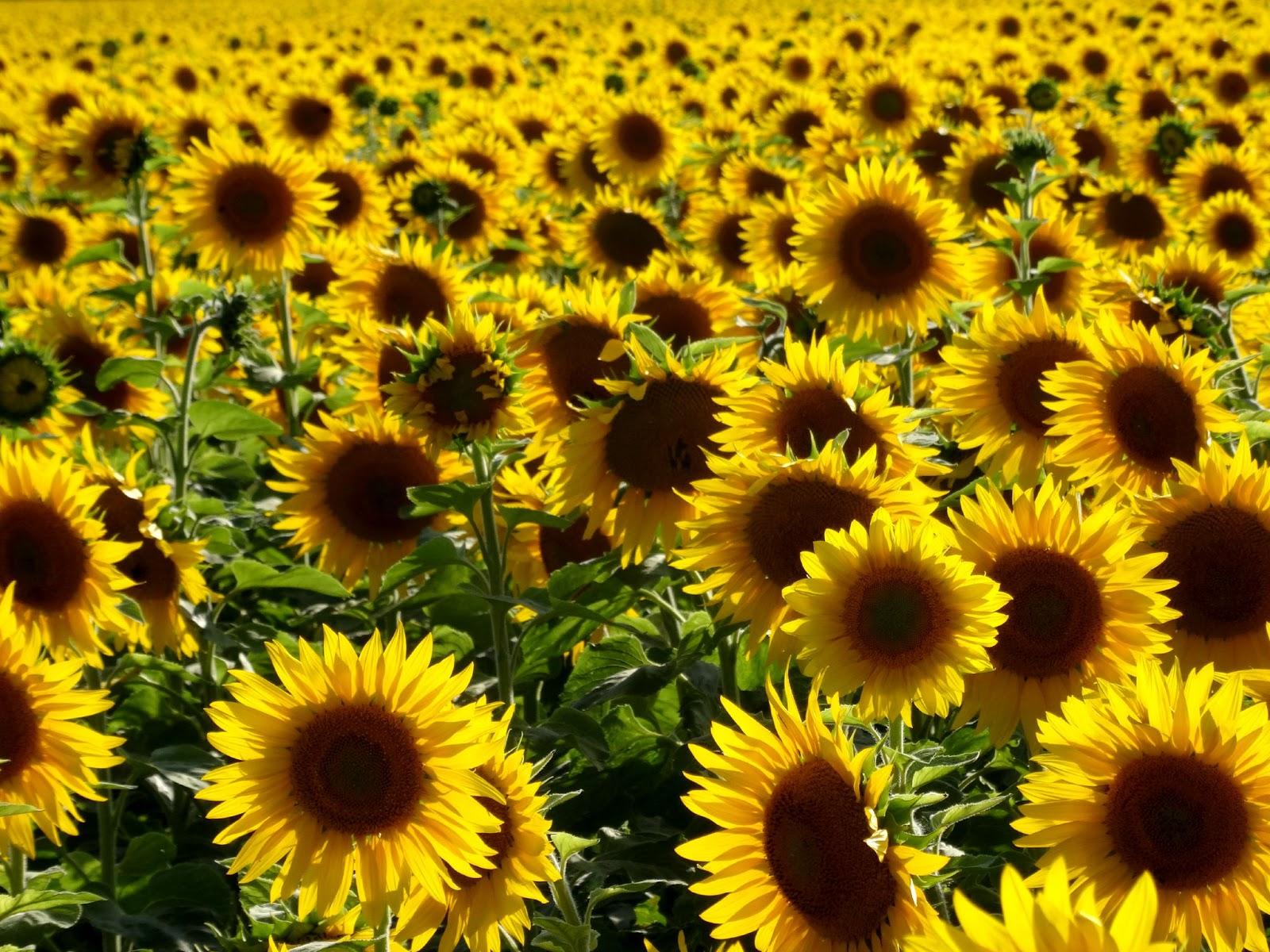 millions of sunflowers