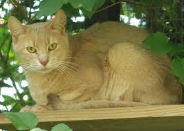 abyssinian for sale