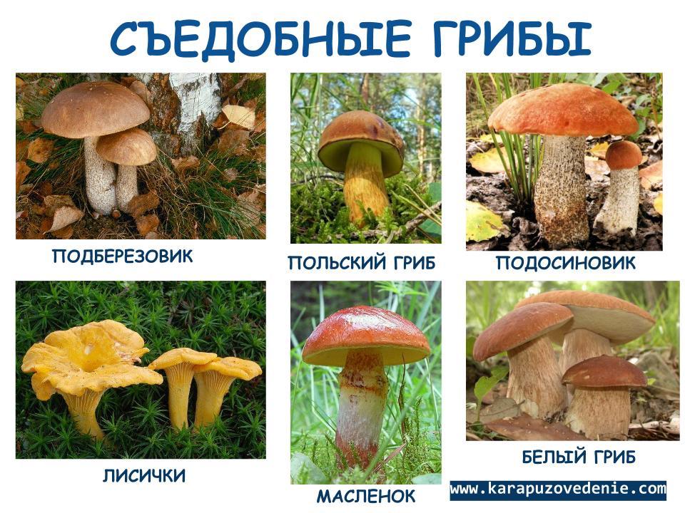лисички грибов фото съедобных