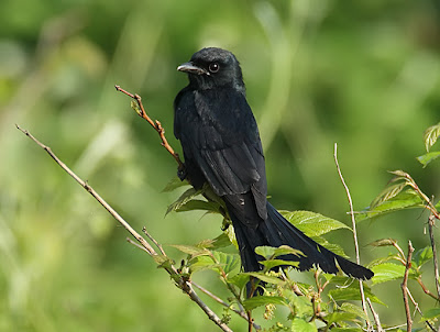 pictures of animal black drongo bird gallery