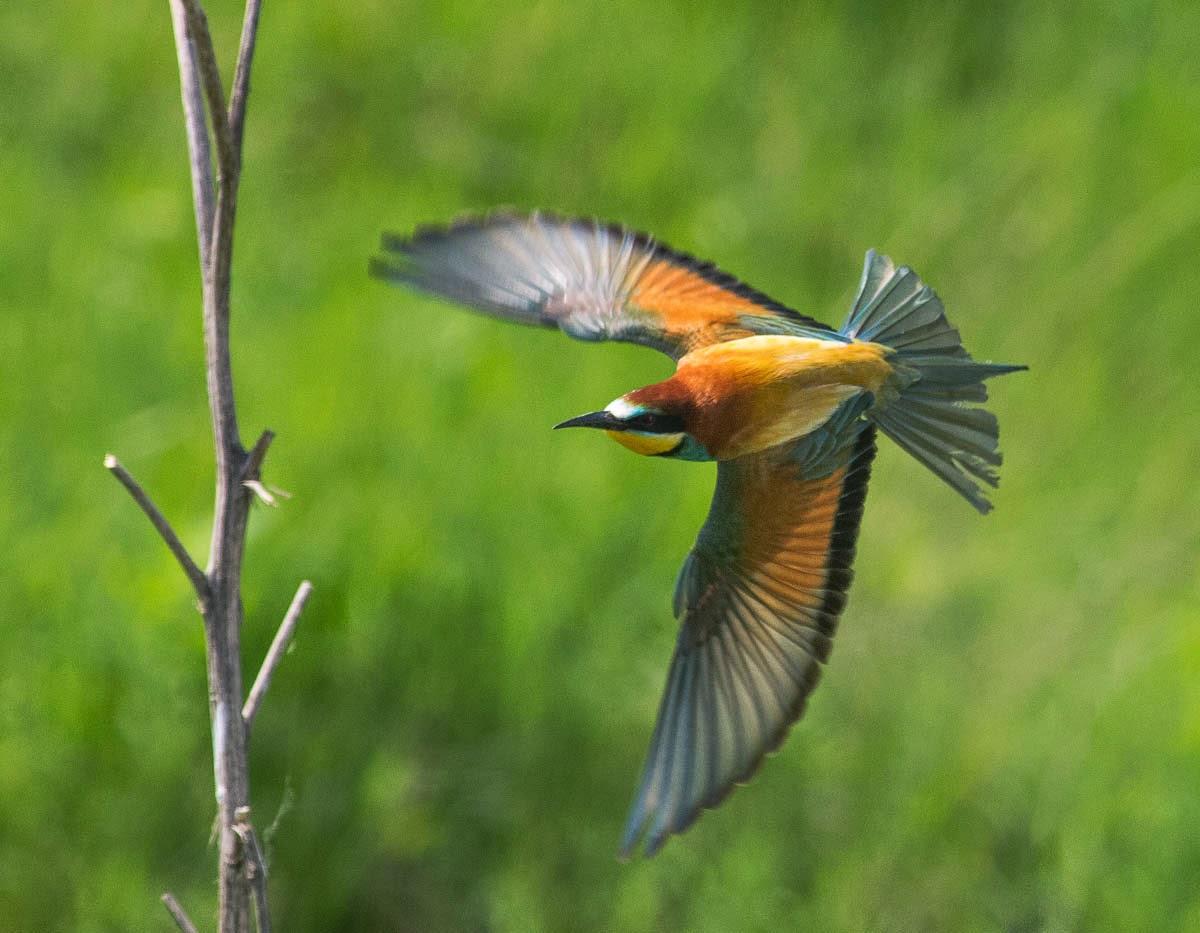 Bee-eater photography in Bulgaria, copyright Iordan Hristov