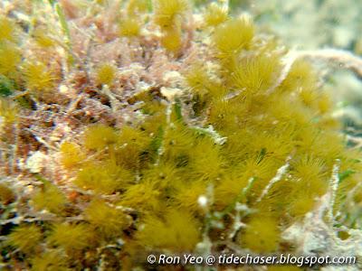 Hydrozoan