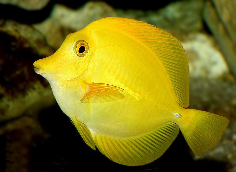 Aquarium Fish - Yellow...
