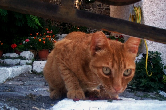Stray cat from Anaxos Lesbos