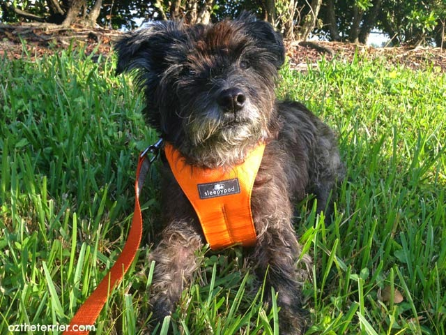 Oz the Terrier modeling Sleepypod's new Clickit Sport Pet Safety Harness