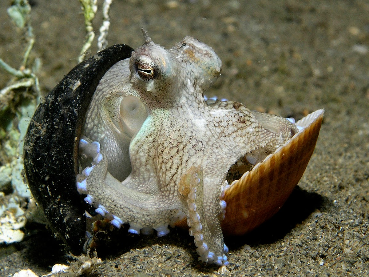 coconut octopus with coconut shell