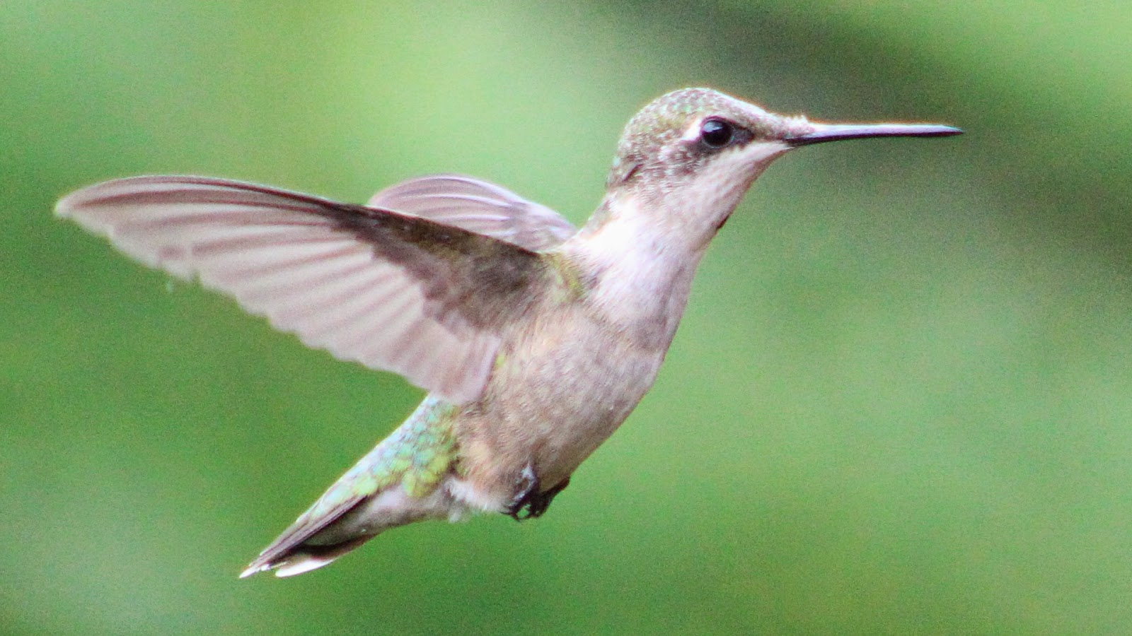 Ruby Throated Hummingbird wing sounds