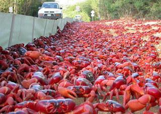 barreira para guiar os caranguejos vermelhos para fora do perigo dos carros