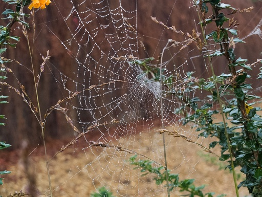 spider web covered in dew